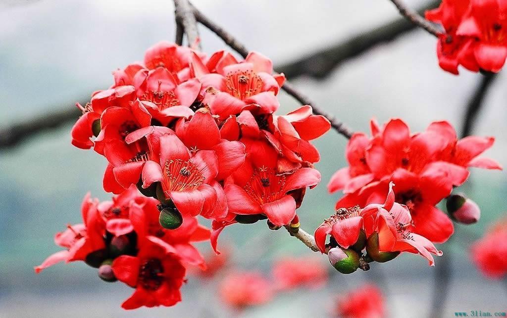 硕果摇摇欲坠          在广州 当木棉花飘落时       蔚蓝之城 广州