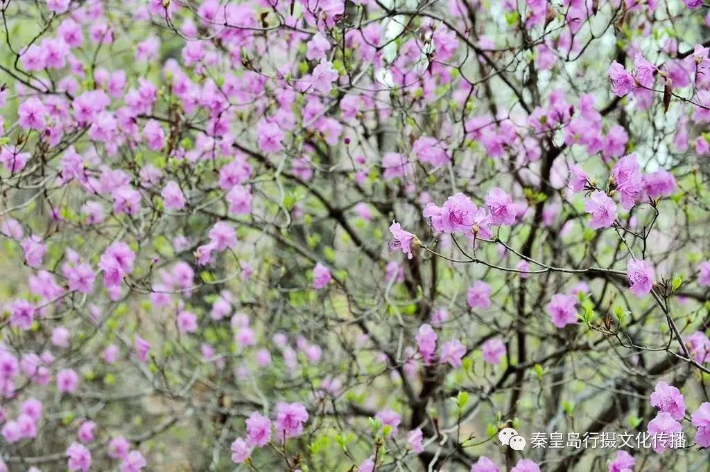 秦皇岛祖山杜鹃花,美的实在没办法!