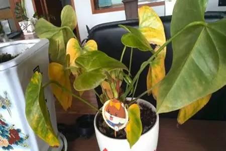 根据红掌的生长特性,适当增加空气湿度,经常往叶片及周围环境喷雾.图片