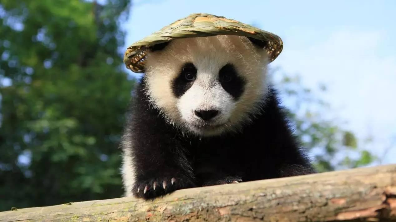 壁纸 大熊猫 动物 1269_714