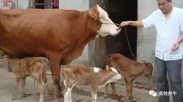 为什么说 母牛好,好一窝,公牛好,好一坡