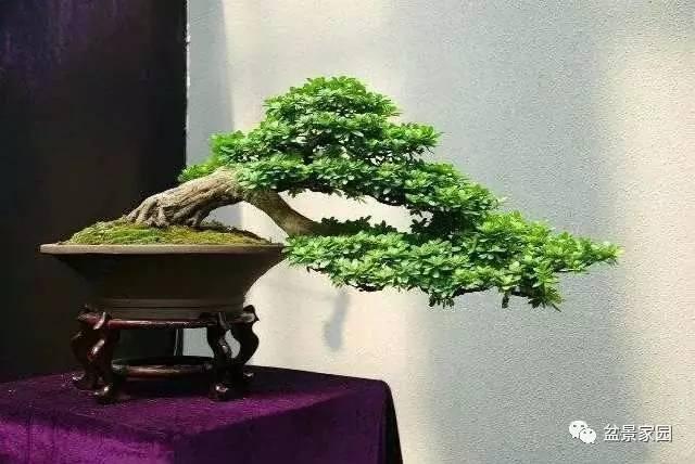 盆景树桩设计如何做到和谐 自然的原则,这几点窍门要掌握