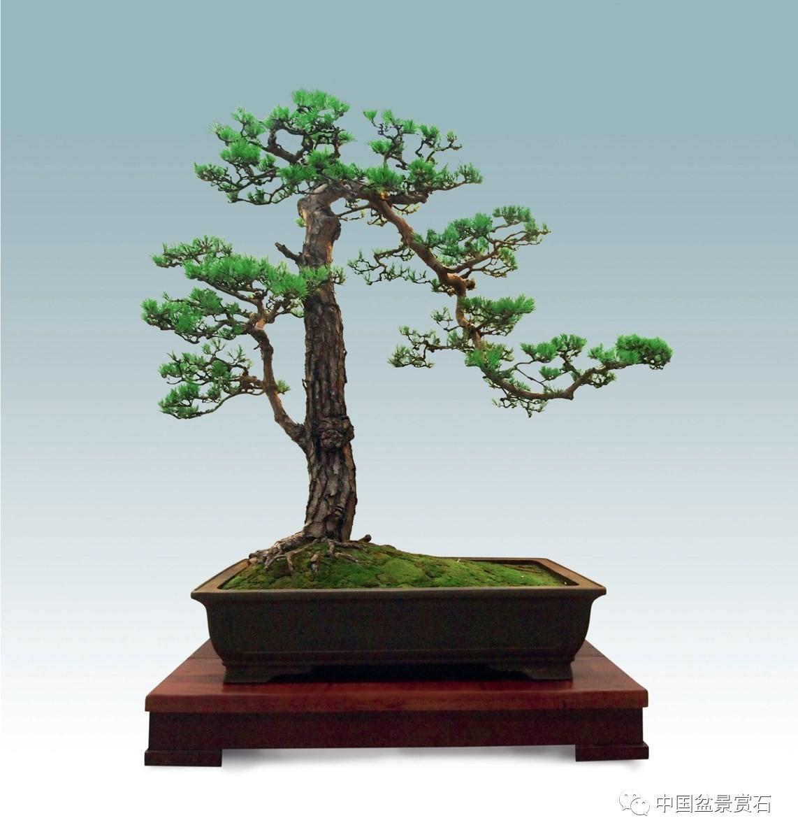2016中国顶级 松树盆景 这里看