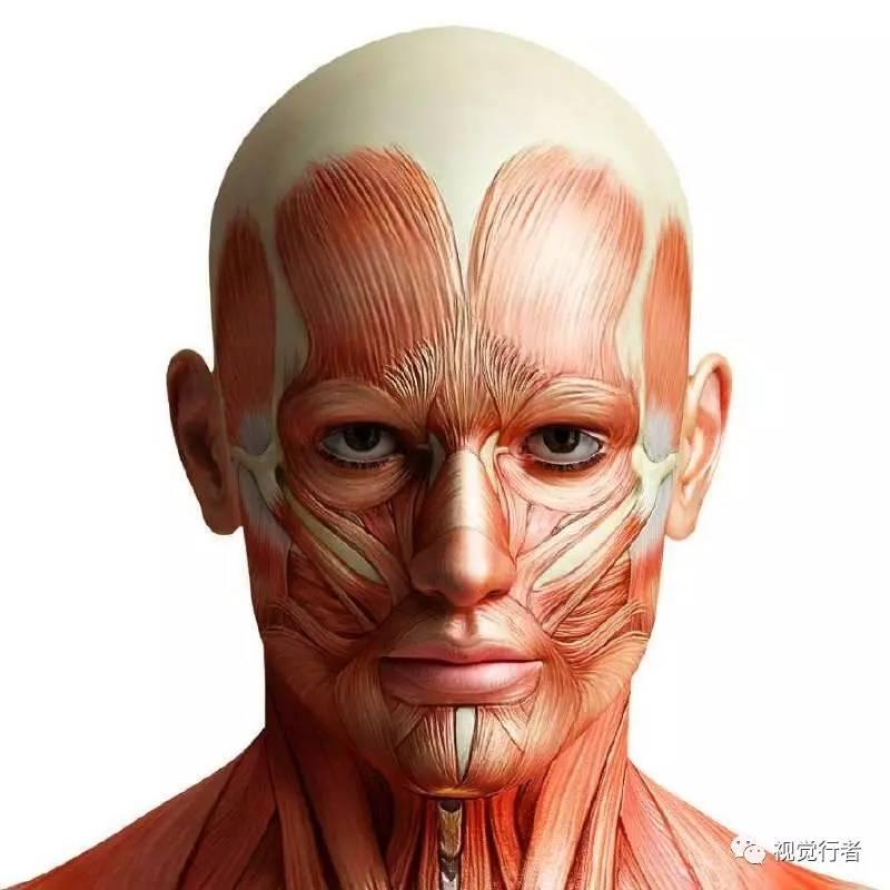 构成人物头部另一基本特征的是肌肉结构,肌肉的收缩和扩张体现了人物