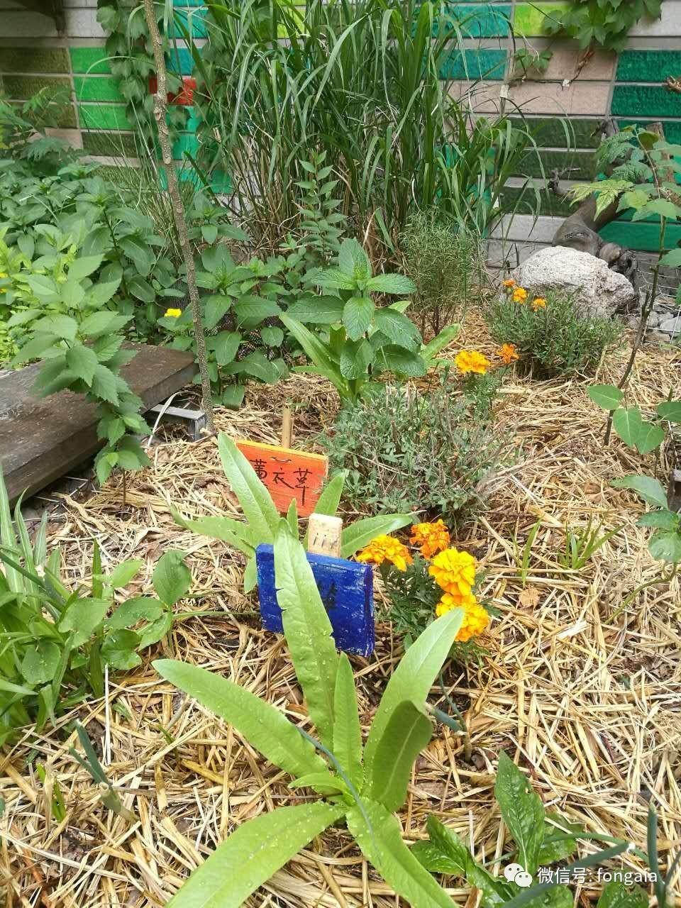 园中覆盖的稻草对植物生长起到什么作用呢(泰山 供图) 这样披着厚厚的被子,植物品种繁多,能够招引蜜蜂、蝴蝶来安家,朴门永续设计如何不用化肥、农药、除草剂等化学品的同时收获多样的蔬菜、水果、香草等有机食物。这样的食物花园,是为小编这样的好(才)吃(华)懒(横)做(溢)的人定制的吗? 2017年5月到6月,自然之友盖娅设计携手培德书院开展为期4天的生态池和食物花园营造系列工作假期。本系列工作假期分为2期进行,第1期将在5月28日-29日,第2期将在6月10日-11日(暂定)。 现在还有部分名额可