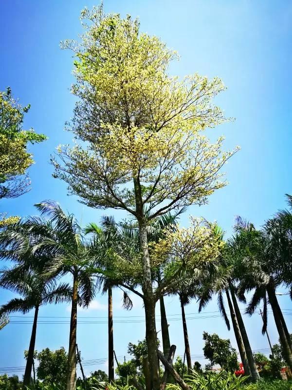 树之歌的树木图片名称