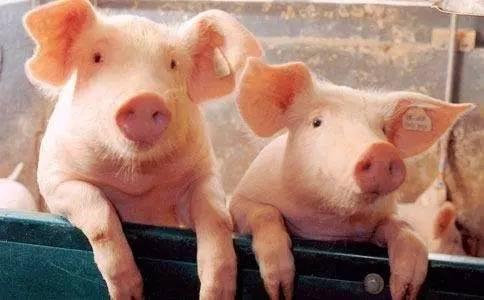 一头猪写给中国消费者的遗书