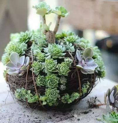 多肉球 - 多肉植物组球制作教程!喜欢的动手试试吧!