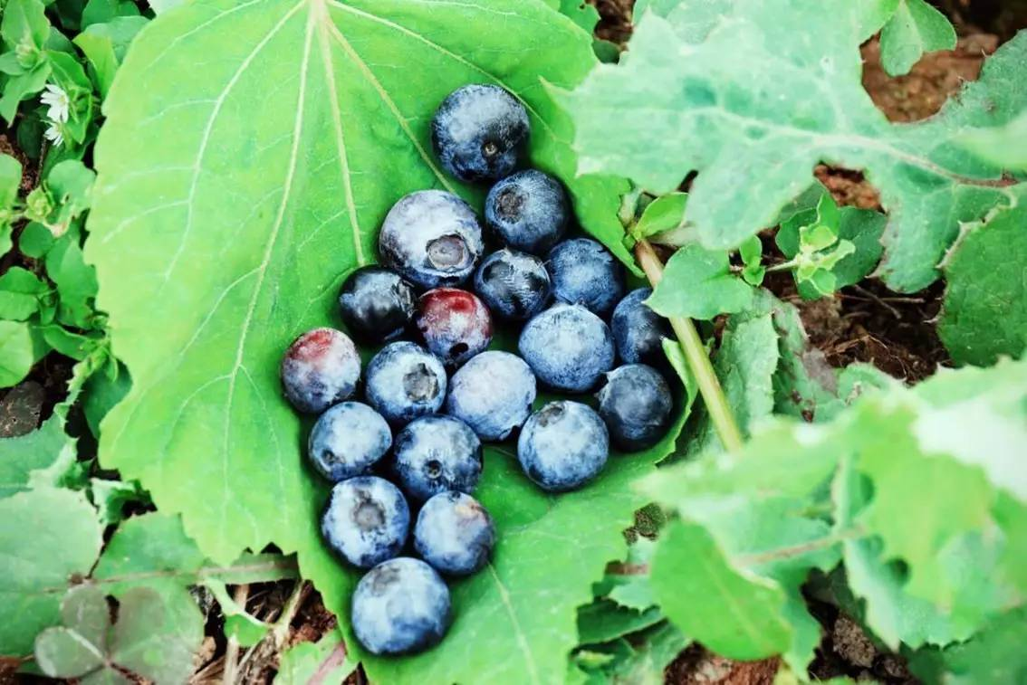 蓝莓熟了,这里可以敞开吃,走起