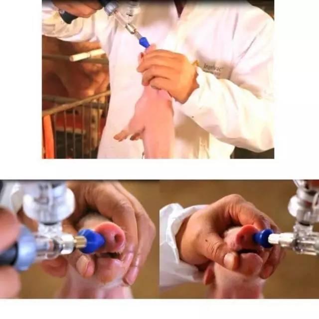 """猪伪狂犬病疫苗滴鼻免疫的优点及注意事项"""""""