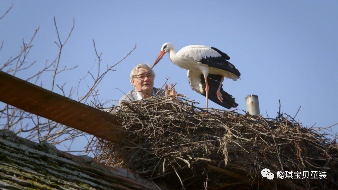 """妻子翅膀受伤,鹳鸟每年飞跃两万五千里来看""""她""""!!"""