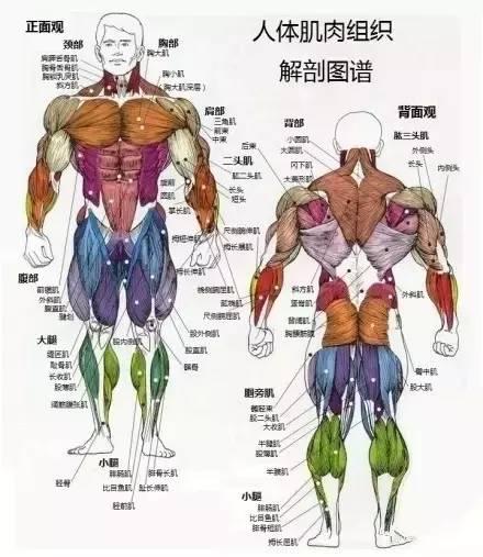 人体肌肉_11,人体主要骨骼肌肉组织分布