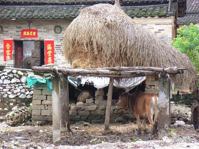农村小规模养殖,简易牛棚搭建!