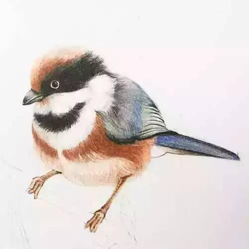手绘一只红头长尾山雀,简单易学的彩铅教程
