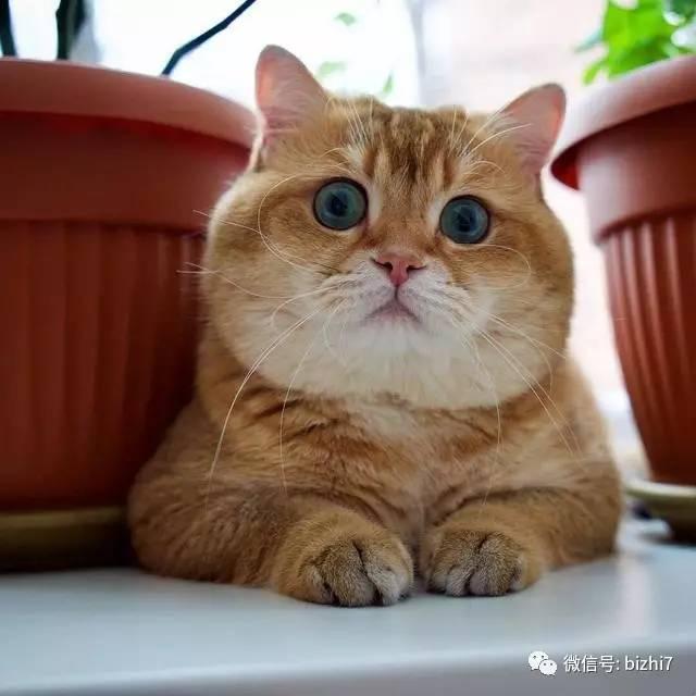 可爱猫咪头像,大肥猫hosico   ps:原版高清无水印版请 微信公众号