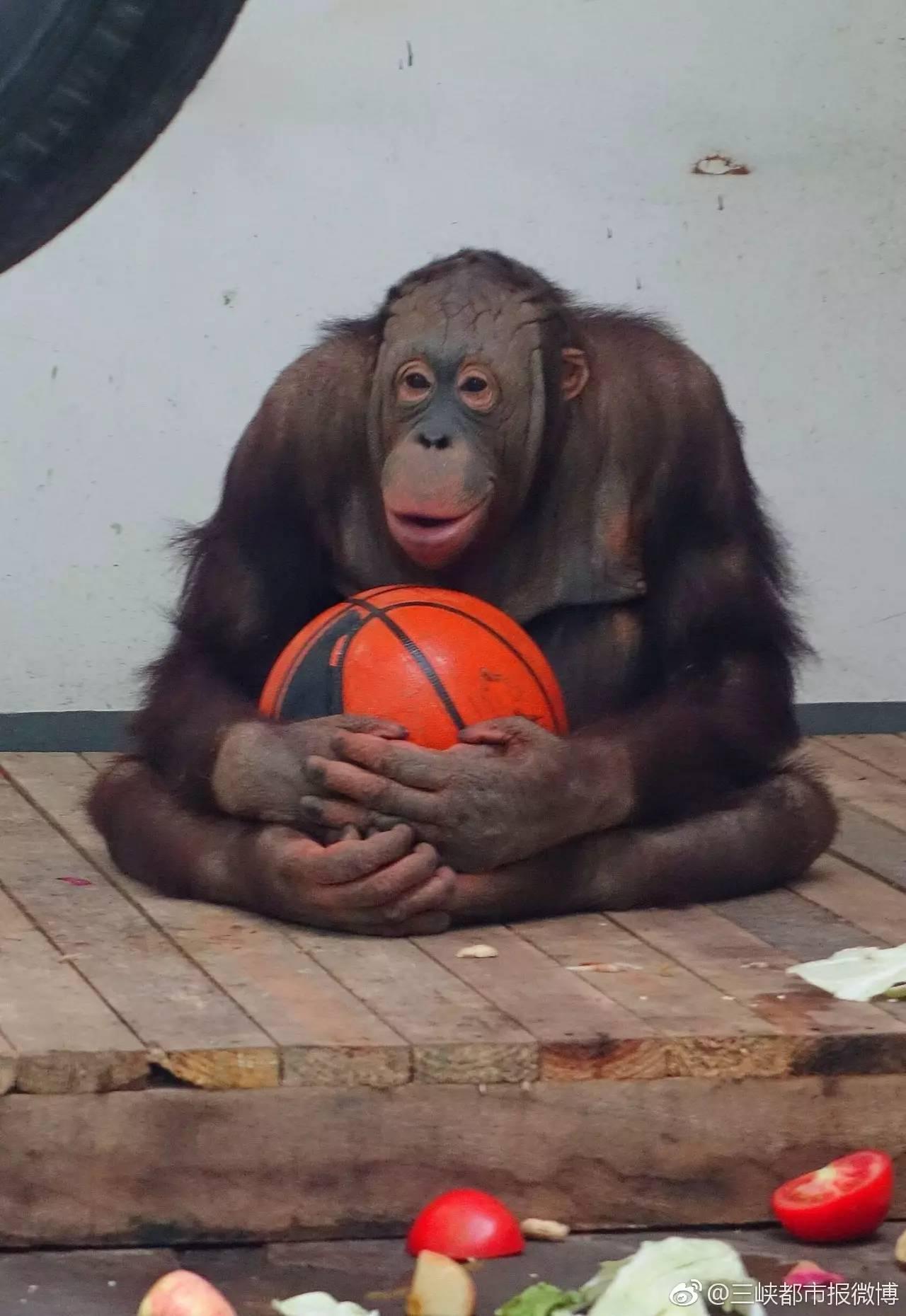 """为迎接端午和""""六一"""",重庆市动物园新引进的世界濒危动物红猩猩,到万州"""