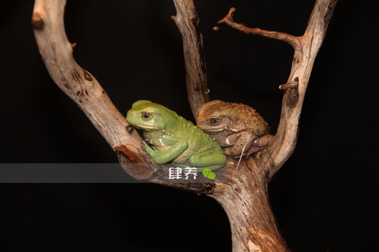 宠物 正文  俯视图上看,简直就是一只蟾蜍 蜡白猴树蛙习惯在夜间行动