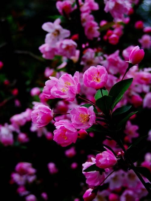海棠花开,也可以这么美的醉人,给跪了!