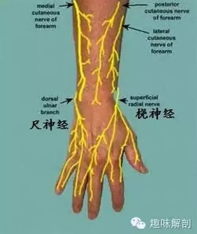 桡神经相关解剖和疾病