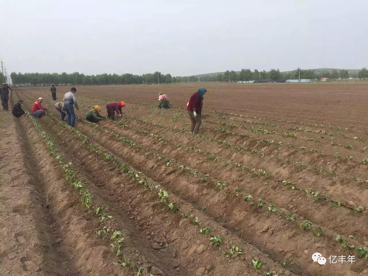 红薯怎么种植方法【相关词_ 红薯盆栽种植方法】图片