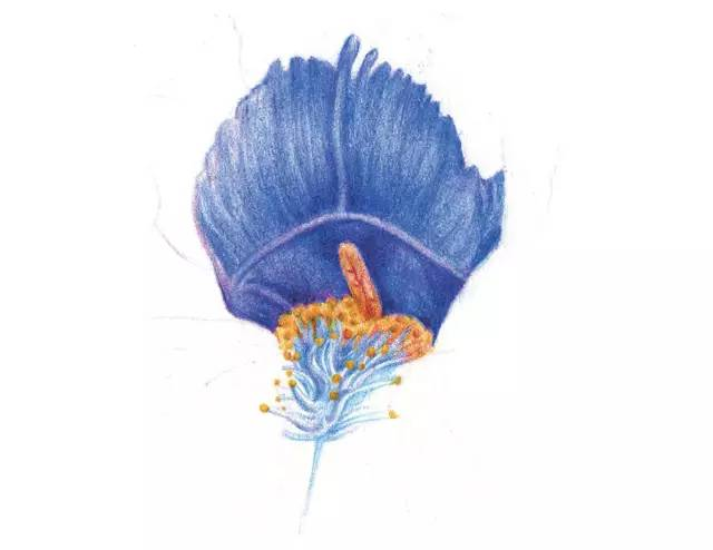 鸢尾花彩铅画法步骤图   彩铅