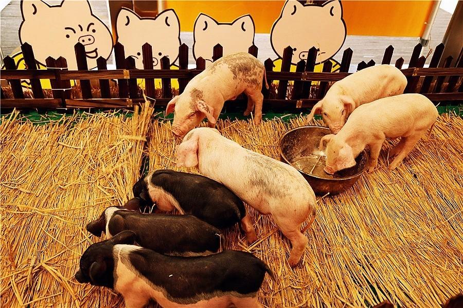 连大南通都舍不得这群可爱的小猪猪啦 连睡觉都萌萌哒二师兄