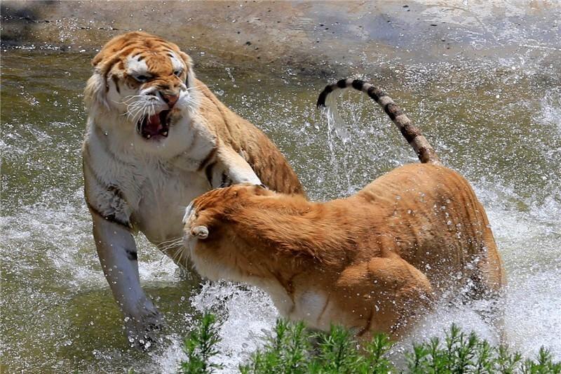 拜猫网_小时候对动物的 第一认知 就是童话故事啦~ 童话故事里说 老虎 拜猫