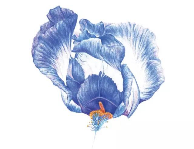 鸢尾花彩铅画法步骤图 | 彩铅