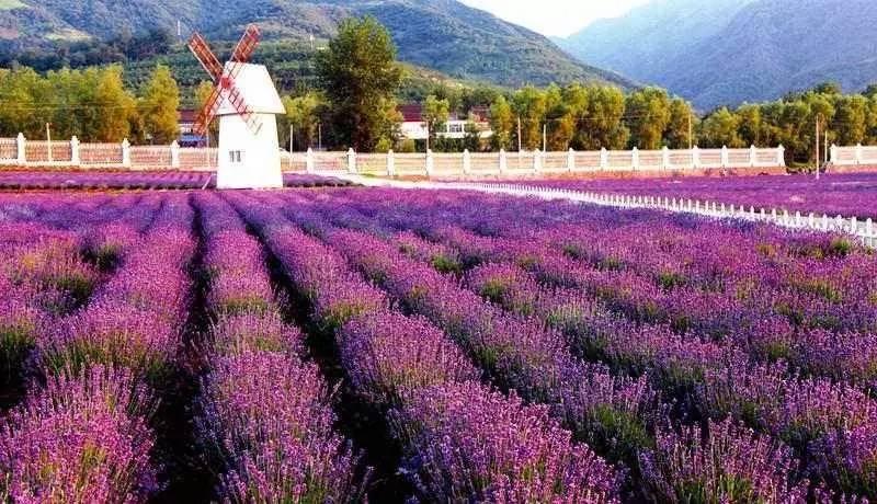 大面积的薰衣草种植,典雅的欧式庄园风格,花香醉人,尤其到了夏季,这里
