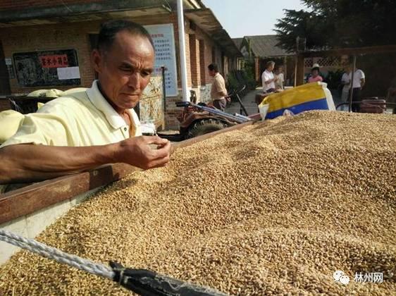 """2017年""""小麦最低收购价""""确定了!林州老乡们千万别卖便宜了!"""