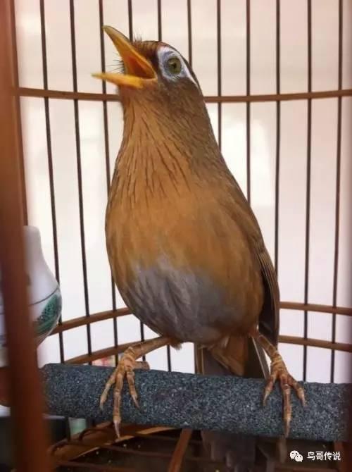 画眉鸟不叫用什么方法 小雏画眉鸟的饲养方法是什么?