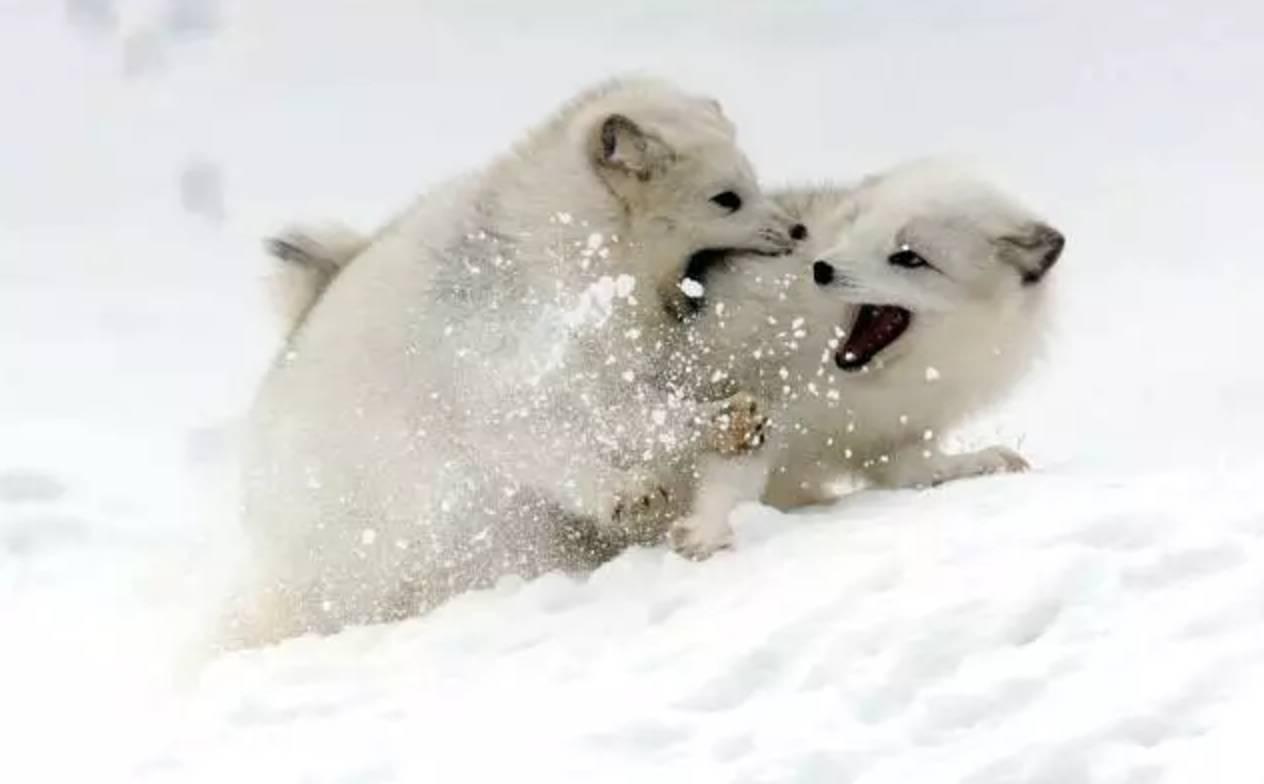 油叔的动物园|不畏永恒日落只因我已光耀大地·北极狐