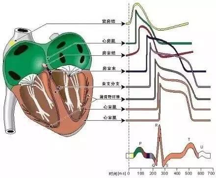 11.史上最全的心脏结构大集锦