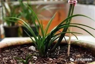 豆瓣兰品种介绍 有什么特点,养护要注意什么