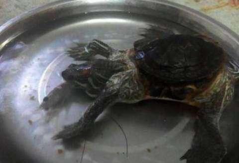 您瞧这龟它长成什么样了,和我们 10年的喂养使它已经长成大乌龟了