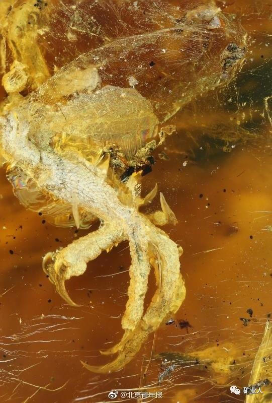 人类首次在琥珀中发现古雏鸟 距今9900万年