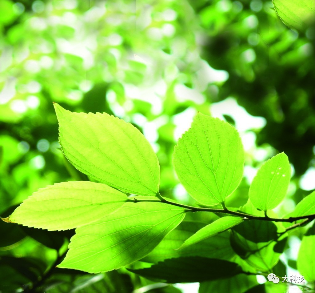 为什么很多叶子边缘 是锯齿状的?图片