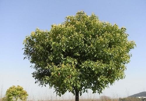 樟树 图片