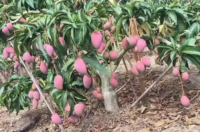 芒果树及木本作物施用豆饼肥的十大优势