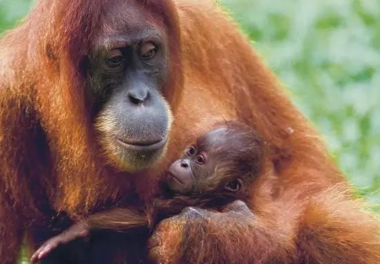 好的观看红毛猩猩的地方,实在没时间去的话,去洛高宜野生动物园看看吧