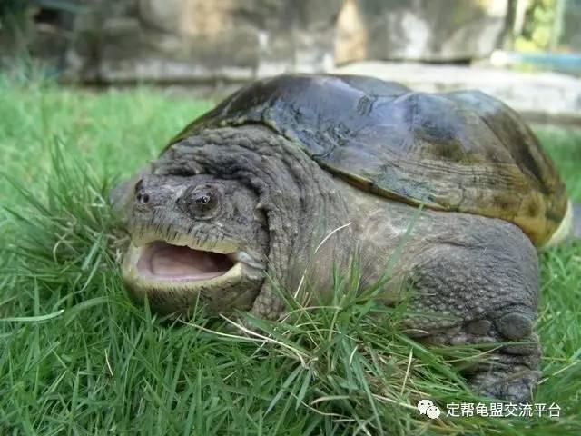 巨大亚波人_巨大的龟舌