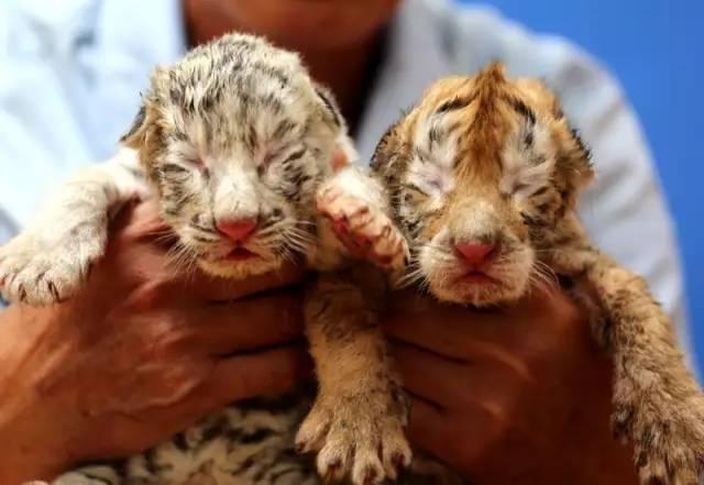 白虎喜欢被老公干屁眼视频_6月10日出生的金虎哥哥和白虎妹妹