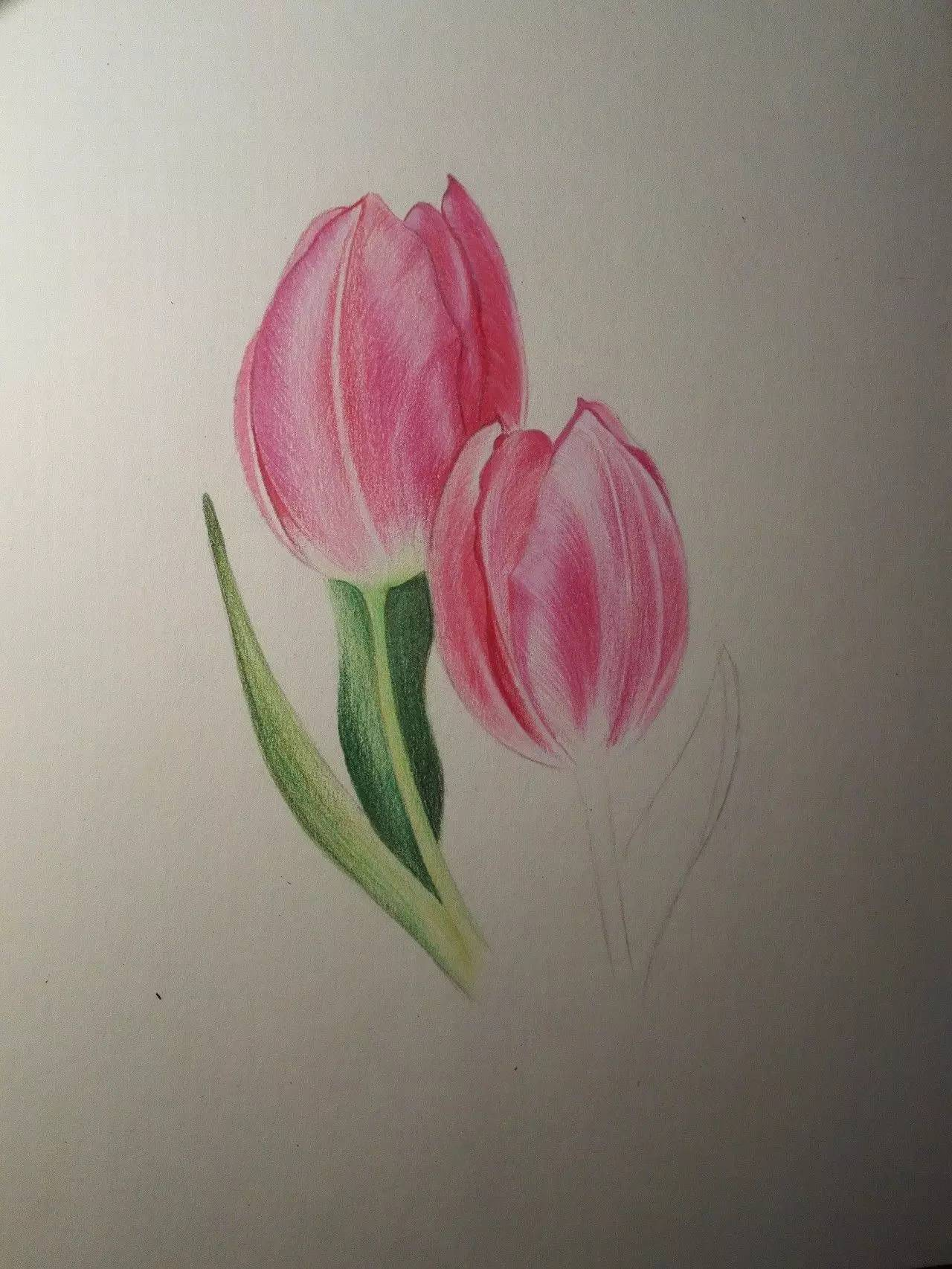 彩铅教程 | 粉色郁金香