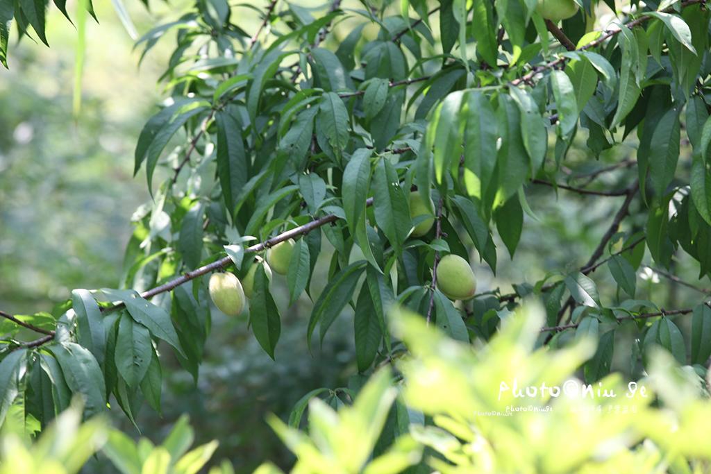 杭州公园里的桃子快熟了,专家说这类桃子吃不得!