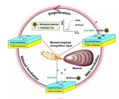 基于海洋贻贝粘蛋白的仿生电化学生物传感器检测原理