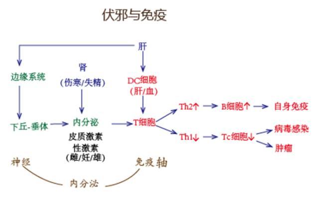 体液免疫常称为Th2型免疫应答,细胞免疫常称为Th1型免疫应答