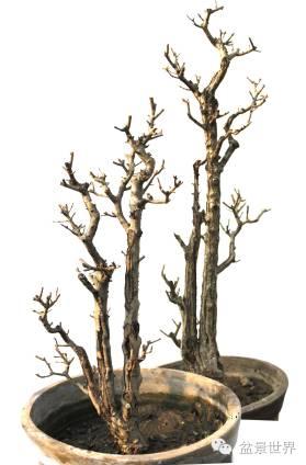 像对节白腊,小叶冬青,米叶冬青,榔榆,爬地蜈蚣,火棘等,利用它生长速度