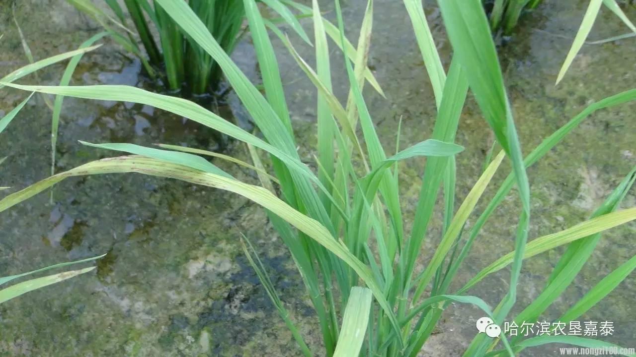 水稻保险赔偿每亩多少?