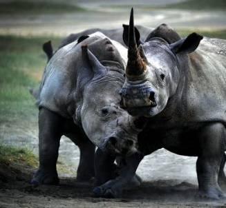 娱乐 正文  作为动物世界里的巨灵神 犀牛一直是不可忽略的动物明星