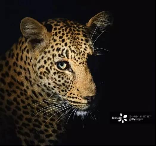 自然传奇丨南美丛林之王 美洲豹
